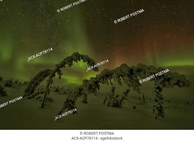 Aurora Borealis or Northern Lights in the northern Yukon with snow covered trees in foreground