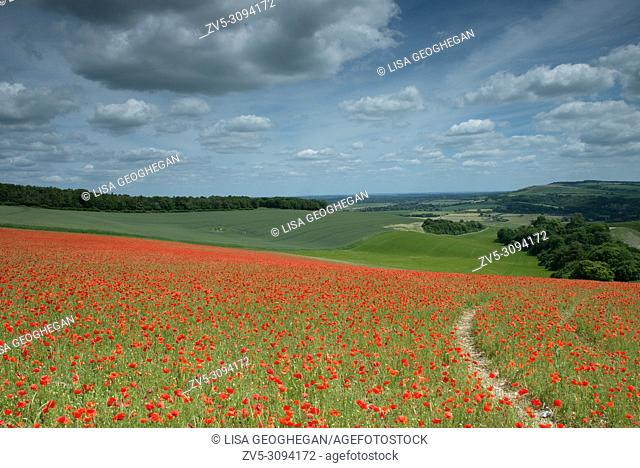 A field of Poppies - Papaver rhoeas on the South Downs National Park, West Sussex, England, Uk, Gb