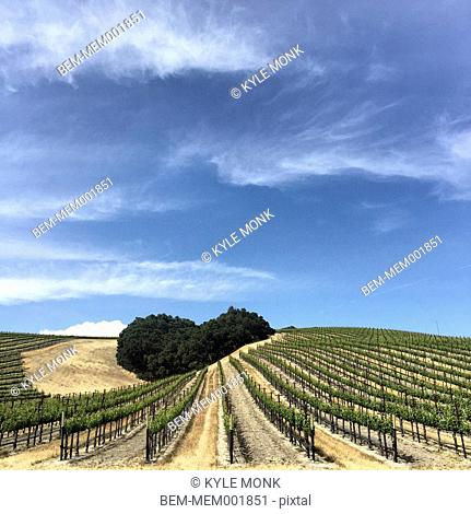 Vineyard on rural hillsides under blue sky