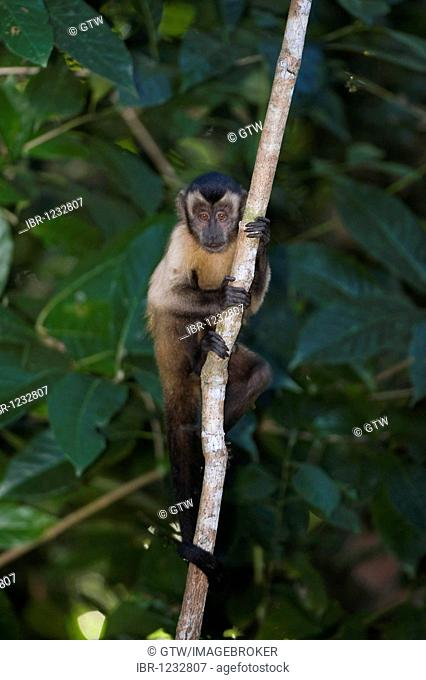 Tufted Capuchin or Brown Capuchin or Black-capped Capuchin (Cebus apella), Alta Floresta, Mato Grosso, Brazil, South America