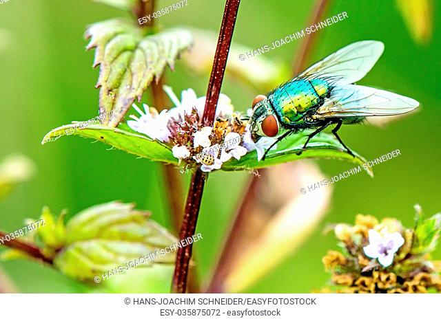 fly, Lucilia caesar on a mint flower