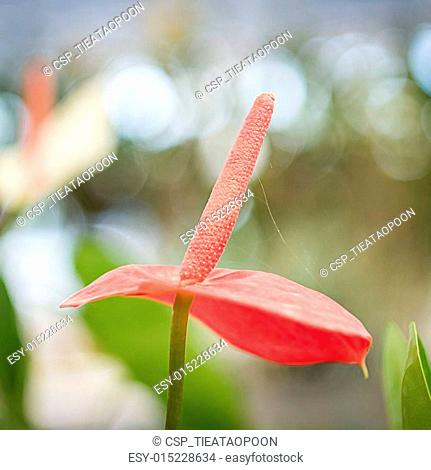 flamingo lily flower in the garden