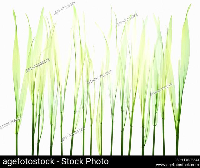 Grass, X-ray