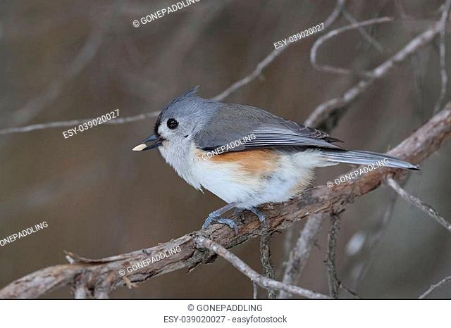 Tufted Titmouse (Baeolophus bicolor) with a seed in its beak - Ontario, Canada