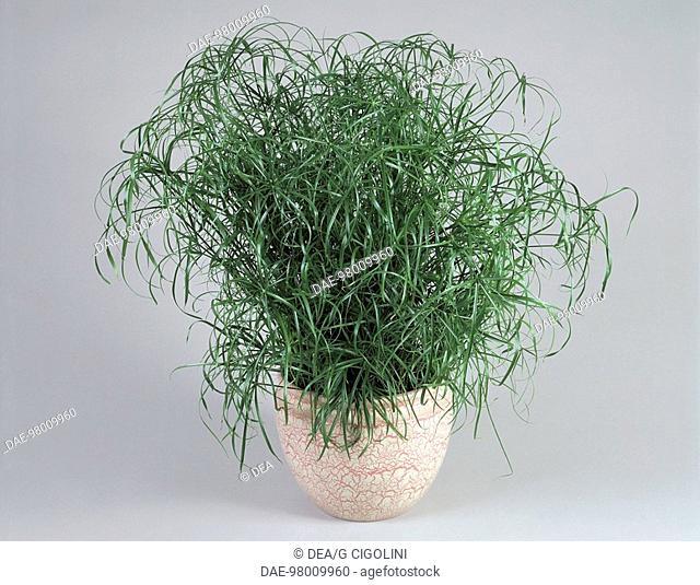 Houseplants - Cyperaceae. Umbrella plant (Cyperus alternifolius)