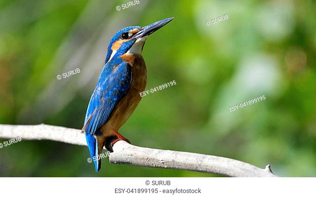 Common Kingfisher (Alcedo athis) on a Branch