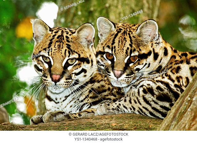OCELOT leopardus pardalis, PAIR OF ADULTS LAYING DOWN ON BRANCH