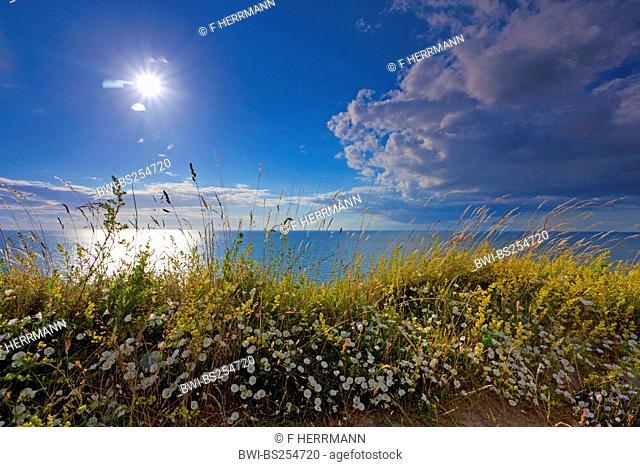 wayside flowers at the coast of Hiddensee, Germany, Mecklenburg-Western Pomerania, Hiddensee
