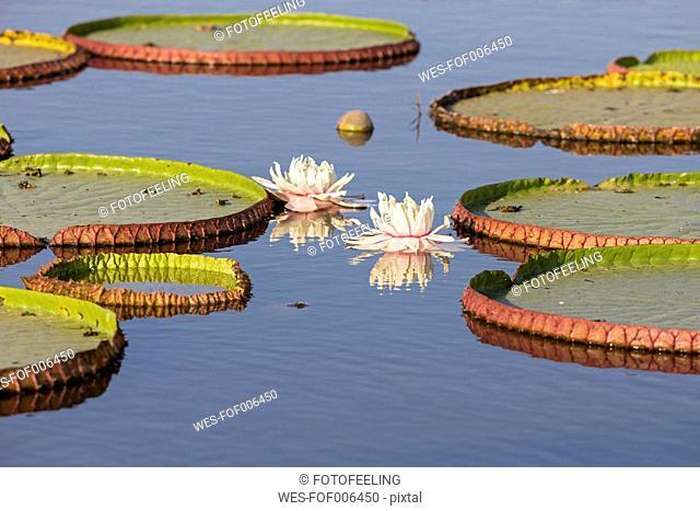 Brazil, Mato Grosso do Sul, Pantanal, Giant water lily (Victoria)