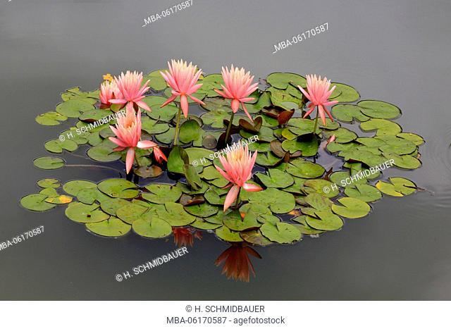 Water lilies flowers and leaves, Nymphaea