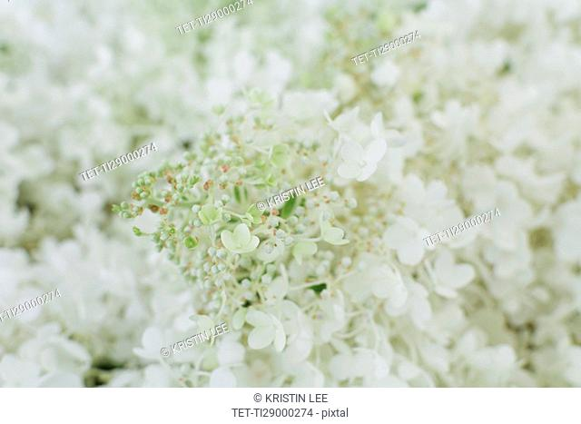 White flowers of Hydrangea (Hydrangea arborescens L.) in bloom