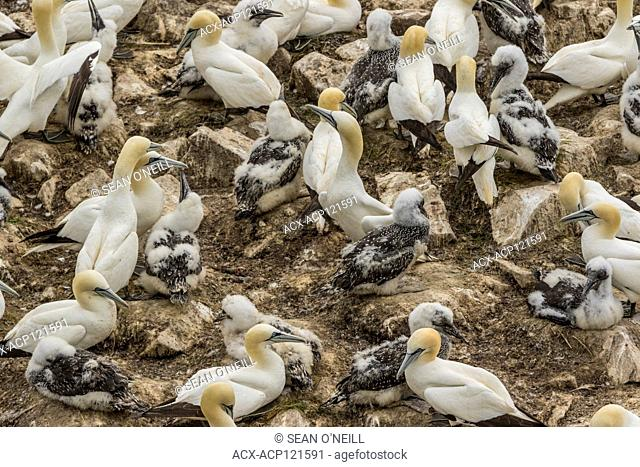Northern Gannet, Morus bassanus, chicks with parents at Cape St. Mary's, Newfoundland, Canada