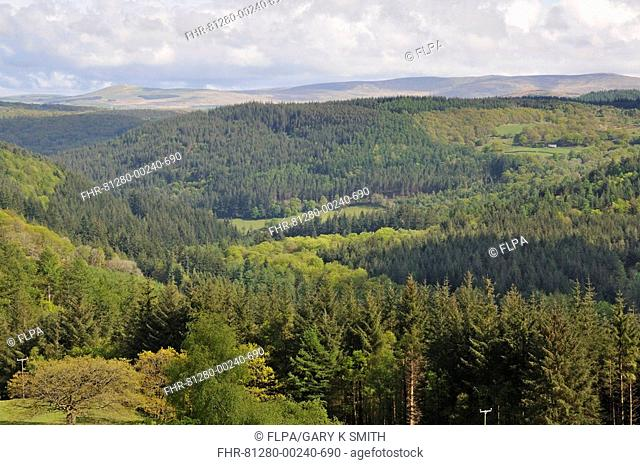 View of conifer plantations and distant mountains, Snowdonia N P , North Wales, may
