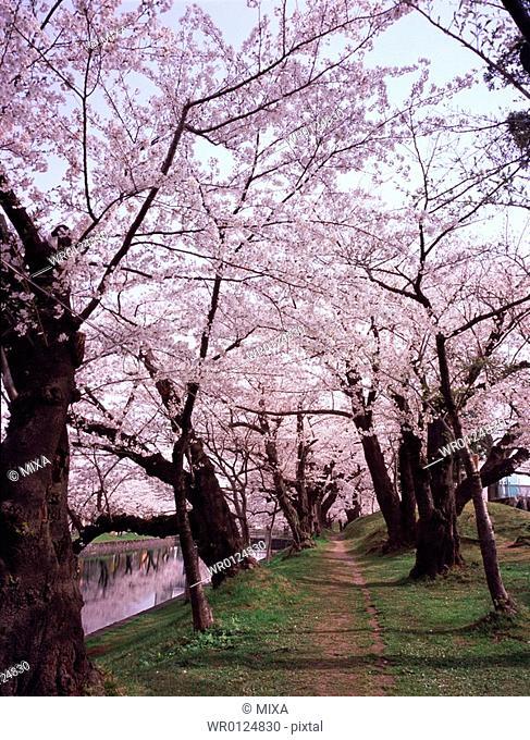 Cherry blossoms in Tsuruoka Park