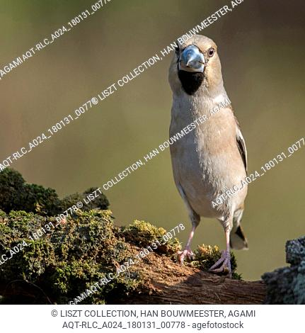 Adult Hawfinch, Hawfinch, Coccothraustes coccothraustes