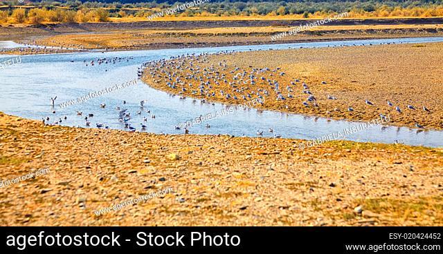 Seagulls on Buzau riverbank