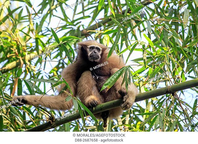South east Asia, India, Tripura state, Gumti wildlife sanctuary, Western hoolock gibbon (Hoolock hoolock), adult female