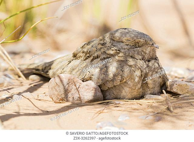 Egyptian Nightjar (Caprimulgus aegyptius saharae), close-up of an adult resting under a bush in Morocco