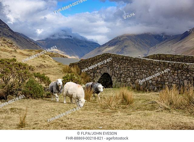 Herdwick ewes, Wast Water, Wasdale, Cumbria, Lake District National Park, England