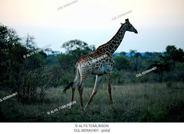 Giraffe at dusk, Sabi Sand Game Reserve, South Africa