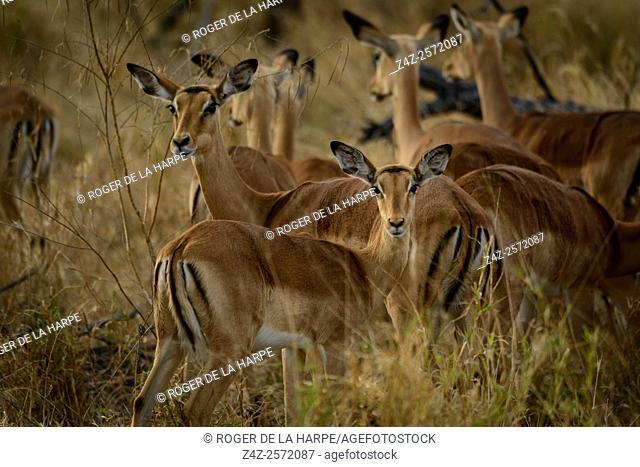 Impala (Aepyceros melampus). Okavango Delta. Botswana