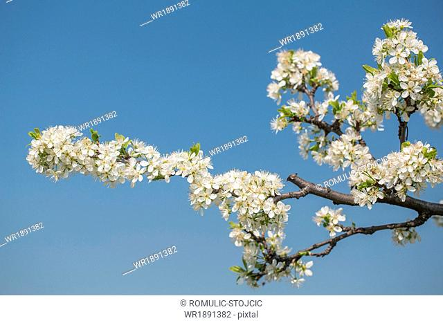 Apple blossoms against blue sky, close-up