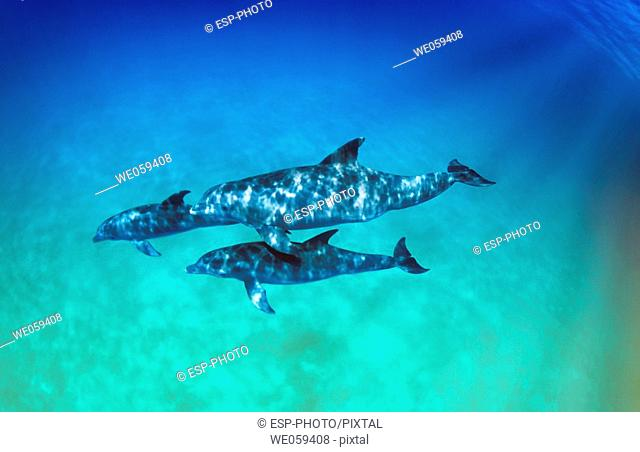 Swimming Pod of Bottlenose Dolphins (Tursiops truncatus)