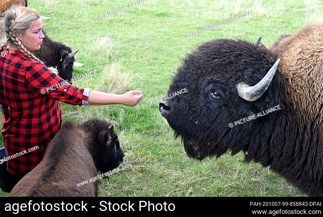 """01 October 2020, Saxony, Wermsdorf: Cora Lechner is standing with the bull """"""""Harka"""""""" (r) and the hand raised calf """"""""Hannes"""""""" in her bison enclosure in Wermsdorf"""
