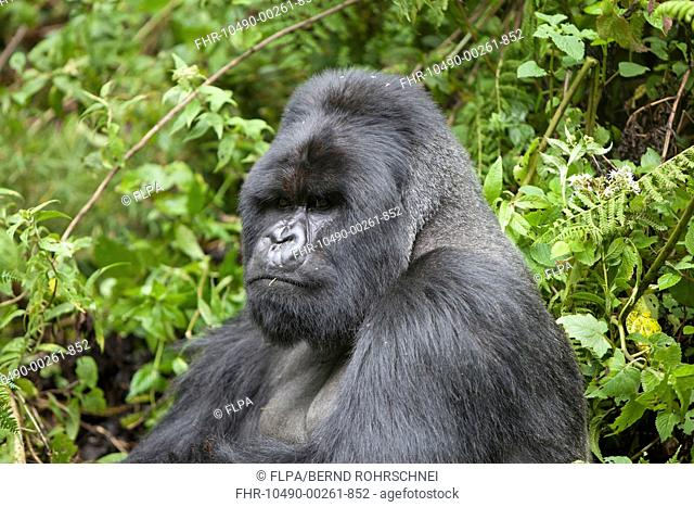 Mountain Gorilla Gorilla beringei beringei silverback adult male, close-up of head and shoulders, sitting in vegetation, Volcanoes N P , Virunga Mountains