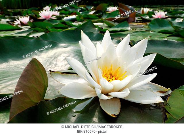 Pond covered with Waterlilies (Nymphaea alba)
