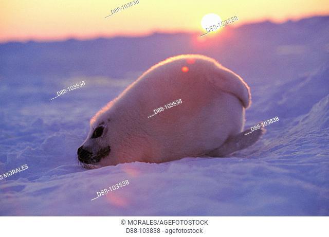 Harp Seal pup (Pagophilus groenlandicus). Magdalen Islands. Canada