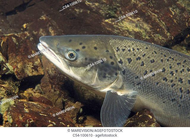 Atlantic Salmon (Salmo salar). Galicia, Spain