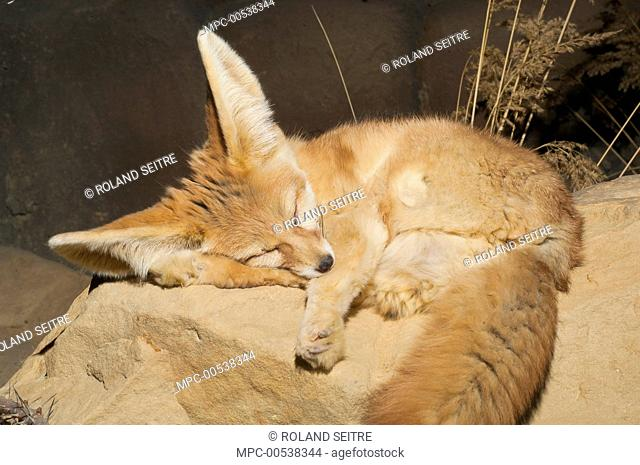 Fennec Fox (Vulpes zerda) sleeping, native to northern Africa