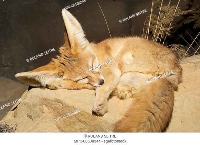 Fennec Fox (Vulpes zerda) sleeping, native to northern Africa