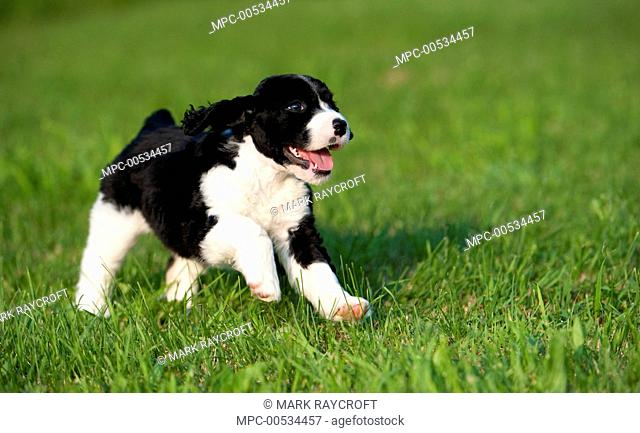 English Springer Spaniel (Canis familiaris) puppy running over lawn