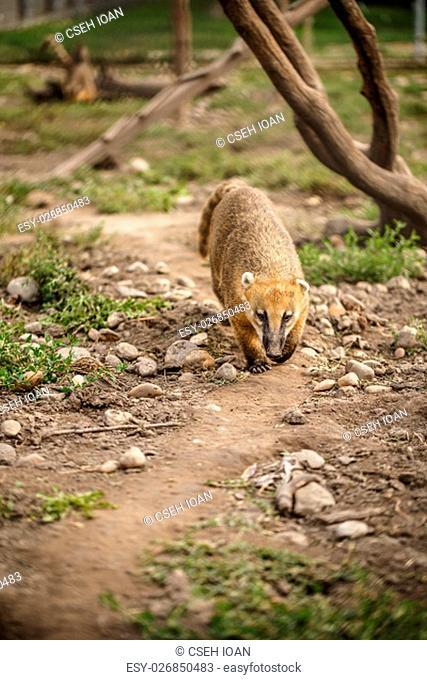 South American coati, or ring-tailed coati (Nasua nasua)