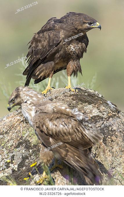 Common buzzard (Buteo buteo) on the rock in Extremadura, Spain