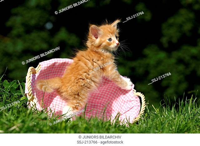 Norwegian Forest Cat. Kitten (6 weeks old) standing in a wicker basket on a meadow. Germany