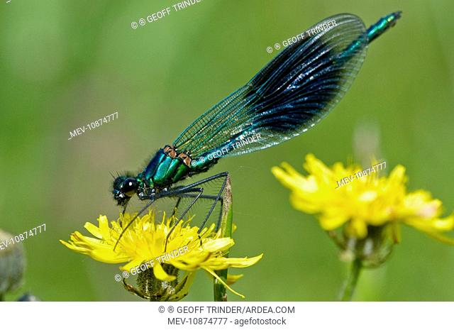 The Banded Demoiselle - resting on yellow flower (Agrion splendens). Suffolk - UK