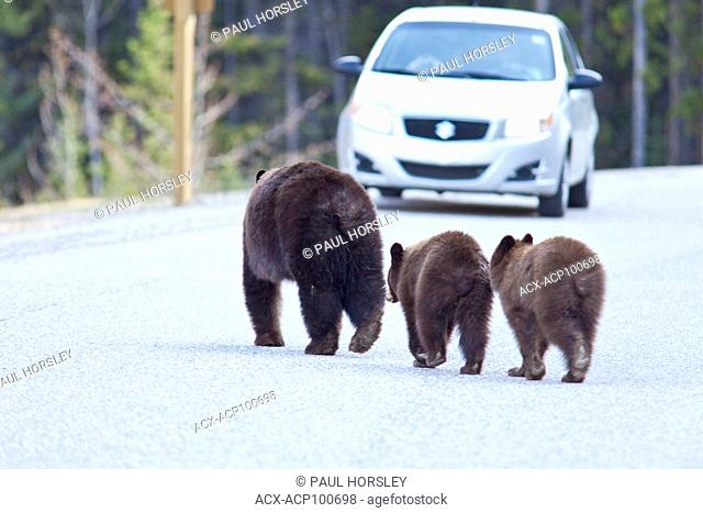 Female Grizzly Bear, Ursus arctos, with two cubs crossing a road in Jasper National Park, Alberta, Canada