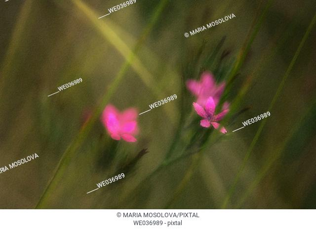 Petrorhagia dubia. Pink Carnation in bloom in the meadows. Maryland, USA