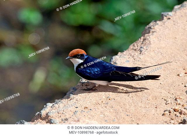Wire-tailed Swallow (Hirundo smithii). perched on a concrete culvert - Amboseli National Park - Kenya