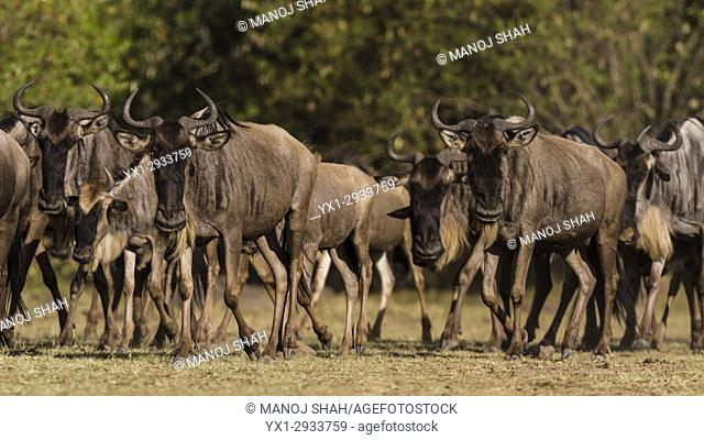 Wildebeest herd walking in the direction of Mara River. Masai Mara National Reserve, Kenya
