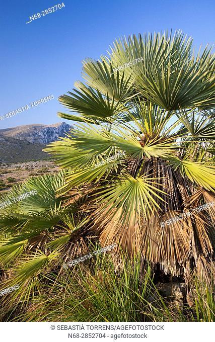 Chamaerops humilis at Parc Natural de la Península del Llevant, Artà, Majorca, Balearic Islands, Spain