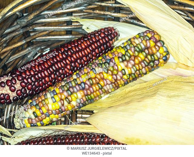 Flint corn (Zea mays indurata) has a hard outer layer to protect the soft endosperm