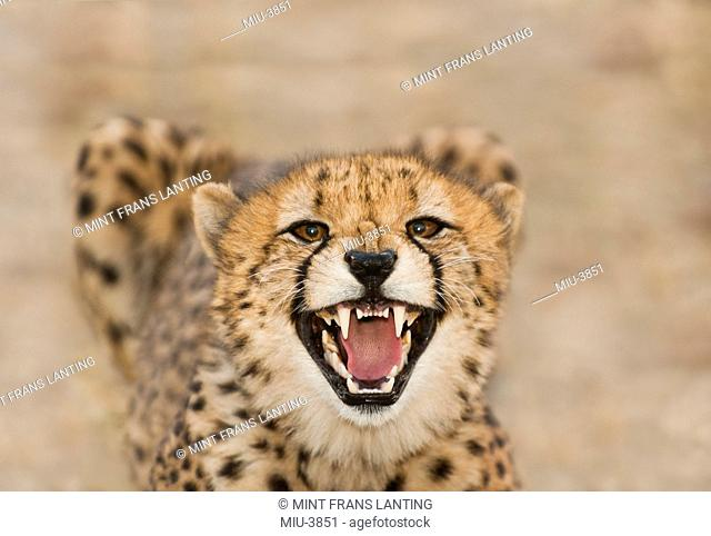 Cheetah snarling, Acinonyx jubatus, Cheetah Conservation Fund, Namibia