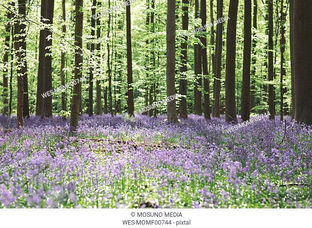 Trees and bluebell flowers growing in Hallerbos National park, Belgium