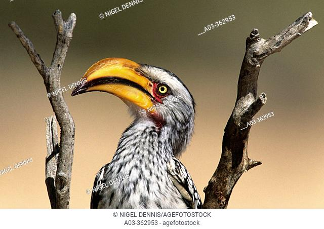 Yellowbilled Hornbill (Tockus flavirostris). Kgalagadi Transfrontier Park, South Africa