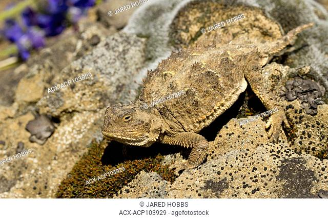 Pygmy Short-horned lizard, Phyrnosoma douglassi, Washington, USA