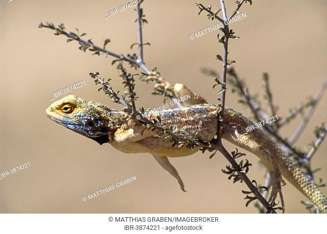 Southern rock agama (Agama atra), male, Kgalagadi Transfrontier Park, Northern Cape, South Africa